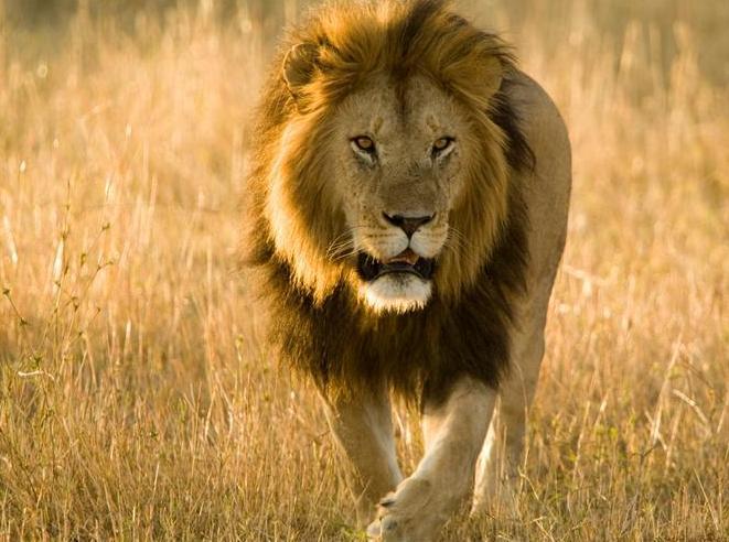 狮子脚印画步骤图