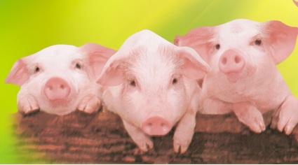 动物图片小猪吃饲料
