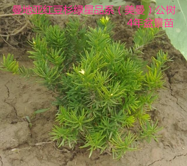 曼地亚红豆杉绿星