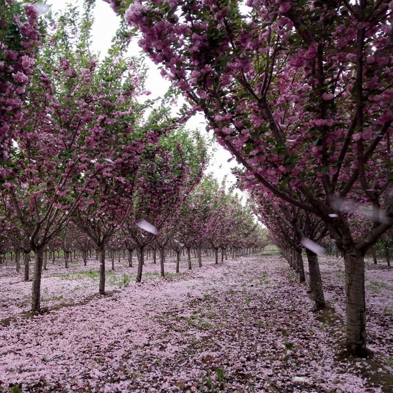 泰安关山樱,日本樱花品种,泰安观赏晚樱