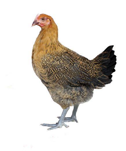 皖江麻商品代母鸡