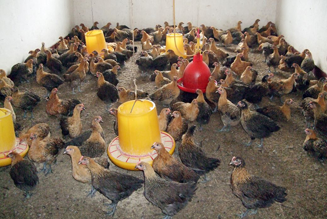 皖江麻商品代母鸡群体