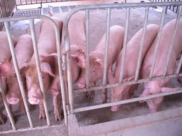 后备二元母猪