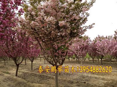 泰安普贤象-泰安鹏举樱花基地