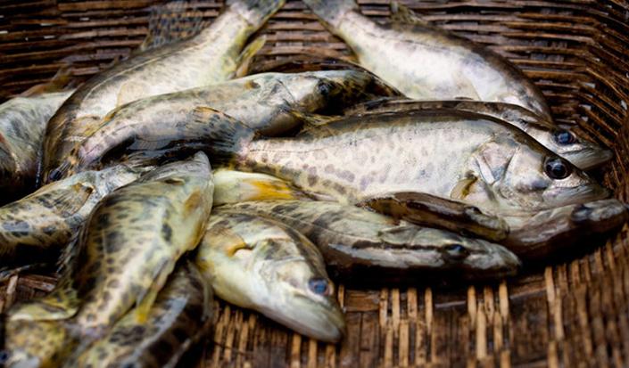亚搏体育app官网特种鳜鱼
