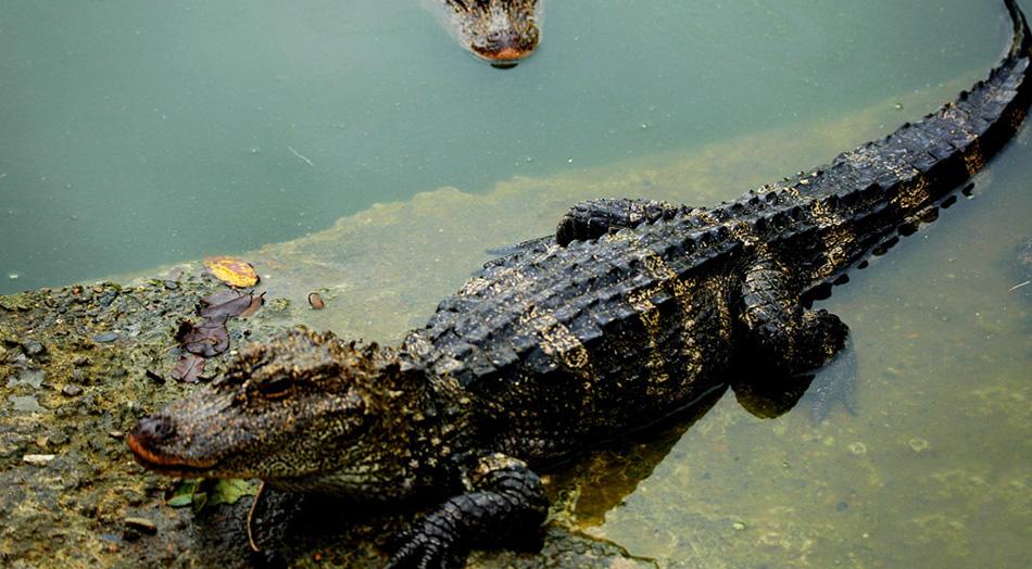 扬子鳄保护区管理局