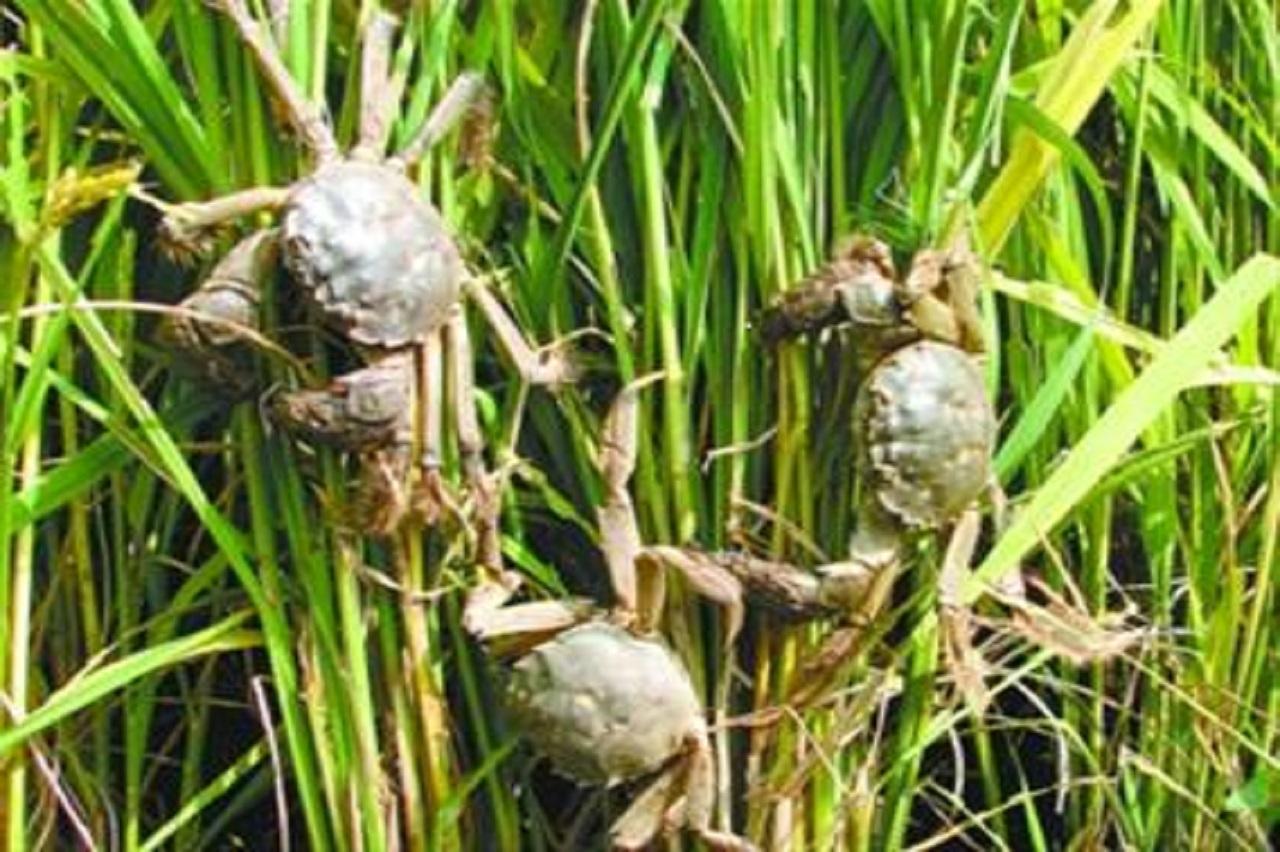 稻鱼共生是一个鱼和水稻相互依赖、相互促进的生态种养系统,鱼在系统中既起到了耕田除草、减少病虫害的作用,又可以合理利用水田土地资源、水面资源、生物资源和非生物资源,发展稻田养鱼,对推进科教兴农、发展高产、优质、高效农业有着深远的现实意义。
