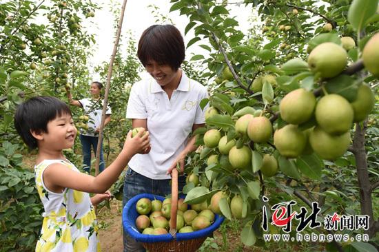 隆尧香梨进入成熟期 销往京津沪港等地区