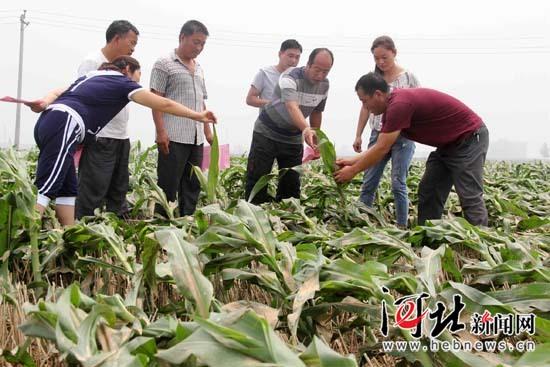 任县农技专家指导农民灾后生产自救