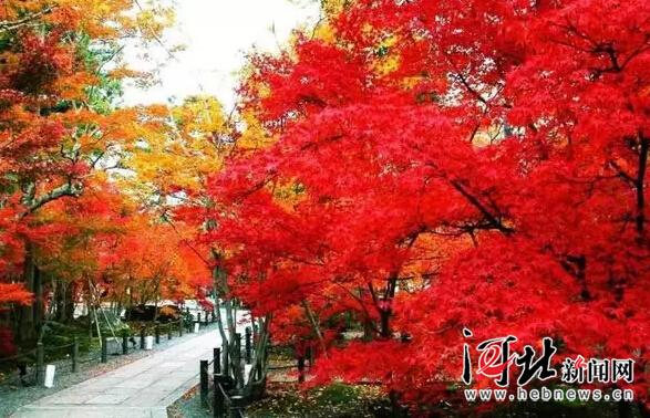 又到漫山红叶时,河北红叶地图来了!