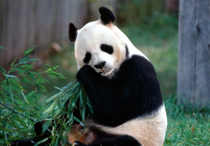 壁纸 大熊猫 动物 728_508