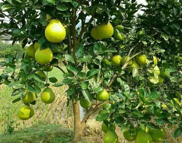 柚类新品种-beplay体育安卓贡柚