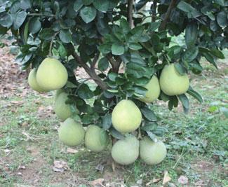 柚类新品种-beplay体育安卓金柚
