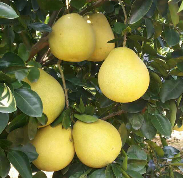 柚类新品种-安江早香柚