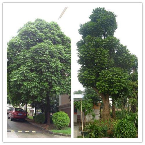华南地区常见园林植物赏析(二)-上海六木景观建筑设计