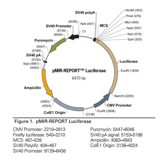 pMIR-REPORT Luciferase
