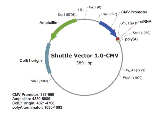 pSilencer adeno 1.0-CMV