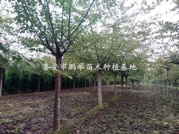 高杆樱花,高杆樱花种植管理,泰安高杆樱花