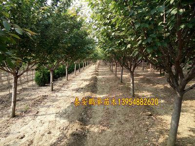 泰安樱花-泰安樱花基地-泰安樱花种植与管理